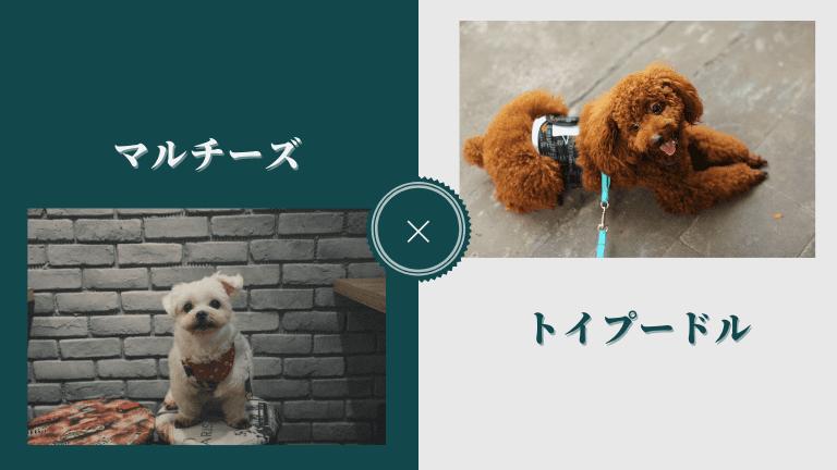 マルプーは「マルチーズ」と「トイプードル」のミックス犬