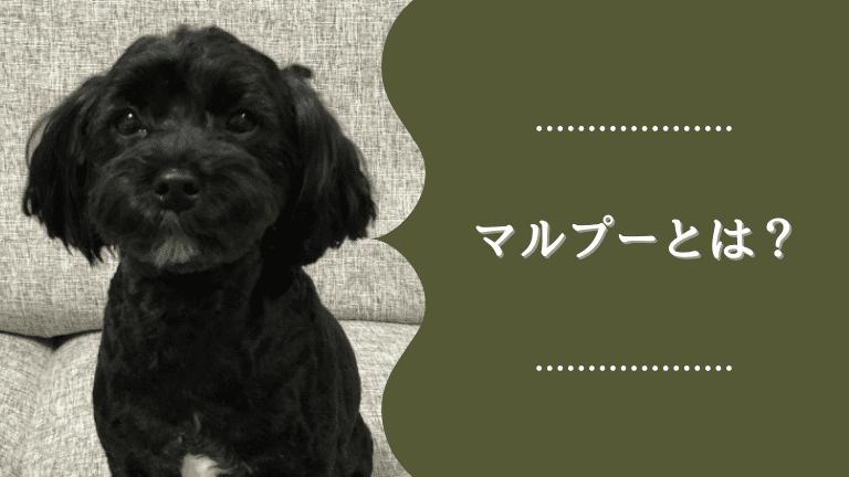【飼い主が教えるマルプーの特徴】性格・毛質・サイズ・体重・寿命・値段・トリミングの頻度