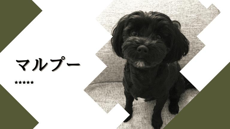 まとめ:マルプーは賢くて飼いやすい犬種